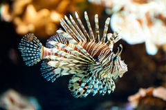 Red lionfish (lat. Pterois volitans). Swimming red lionfish (lat. Pterois volitans Royalty Free Stock Images