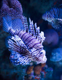 Red Lionfish latinname Pterois volitans Royalty Free Stock Photos