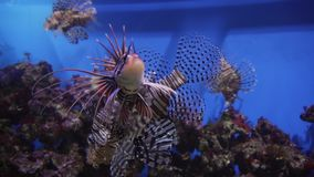 Red lionfish in marine aquarium stock footage video. Red lionfish in a marine aquarium stock footage video stock video