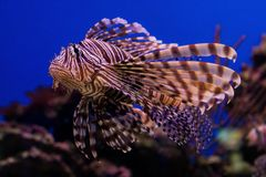 Red lionfish in the ocean. Red lionfish in the blue ocean Stock Photography