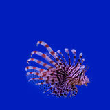 Red lionfish. Pterois miles. poisonous ocean fish Stock Photo