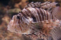 Red Lionfish Pterois volitans Stock Photography