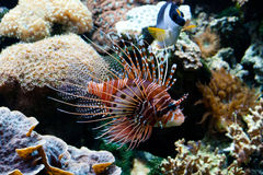 Red Lionfish (Pterois volitans) Royalty Free Stock Photos