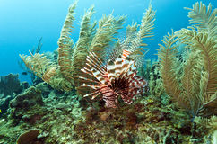 Red lionfish (Pterois volitans). Off the coasr of Roatan Honduras Royalty Free Stock Image