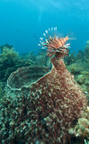 Red lionfish (Pterois volitans). Off the coasr of Roatan Honduras Royalty Free Stock Photography