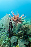 Red lionfish (Pterois volitans). Off the coasr of Roatan Honduras Royalty Free Stock Images