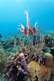 Red lionfish (Pterois volitans). Off the coasr of Roatan Honduras Stock Photos