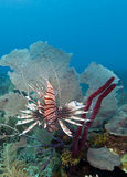 Red lionfish (Pterois volitans). Off the coast of Roatan Honduras Stock Images