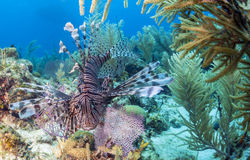 Red lionfish (Pterois volitans). On coral reef Royalty Free Stock Photo