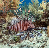 The red lionfish (Pterois volitans) Stock Photo