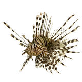 Red lionfish - Pterois volitans. In front of a white background Stock Photo