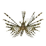 Red lionfish - Pterois volitans. In front of a white background Stock Photos