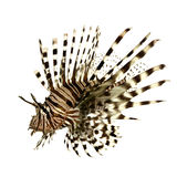 Red lionfish - Pterois volitans. In front of a white background Royalty Free Stock Photo