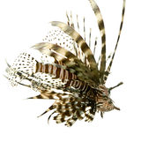 Red lionfish - Pterois volitans. In front of a white background Royalty Free Stock Photos
