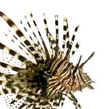 Red lionfish - Pterois volitans Stock Photos