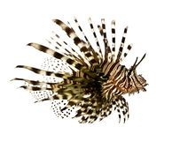 Red lionfish - Pterois volitans. In front of a white background Royalty Free Stock Images