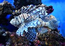 Red lionfish Pterois volitans aquarium fish, Stock Photo