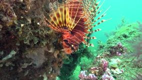 Red lionfish Pterois volitans in the artificial corals in Zulu sea Dumaguete. Philippines stock video footage