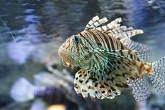 Red lionfish Pterois volitans. Red lionfish Pterois volitans behind the dusty glass in the oceanarium Stock Photo