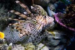 Red lionfish (Pterois volitans) Royalty Free Stock Image