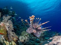 Free Red Lionfish, Pterois Volitans. Richest Reefs In The World. Misool, Raja Ampat, Indonesia Stock Photography - 179779752