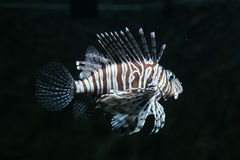 Red Lionfish Royalty Free Stock Photos