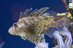 Red Lionfish In Aquarium. Red Lionfish Pterois volitans in a tank at the Monterey Bay Aquarium royalty free stock photos