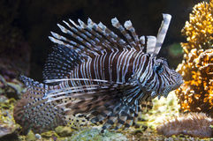 Red lionfish (Pterois volitans) underwater Royalty Free Stock Photos
