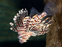 Red lionfish. The red lionfish (Pterois volitans) is a venomous, coral reef fish in the family Scorpaenidae, order Scorpaeniformes,invasive pest Stock Photography