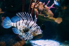 Red Lionfish Pterois Volitans Is Venomous Coral Reef Fish Swimmi stock photography