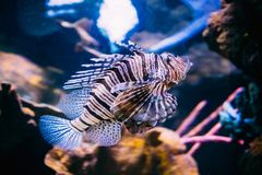 Red Lionfish Pterois Volitans Is Venomous Coral Reef Fish Swimming. In Aquarium. One Of The Most Poisonous Fish In Sea Royalty Free Stock Photos