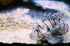 Red Lionfish Pterois Volitans Is Venomous Coral Reef Fish Swimming. In Aquarium. One Of The Most Poisonous Fish In Sea Stock Photo