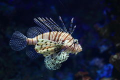 Red lionfish. (Pterois volitans) in water Stock Images