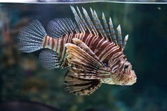Red lionfish (Pterois volitans). Royalty Free Stock Photography
