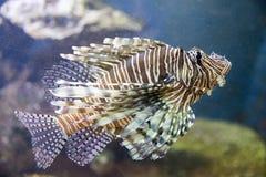 Red lionfish Pterois volitans. Wild life animal.  Royalty Free Stock Photos