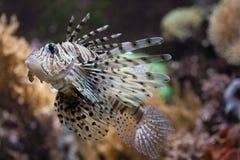 Red lionfish. (Pterois volitans). Wildlife animal Stock Photos