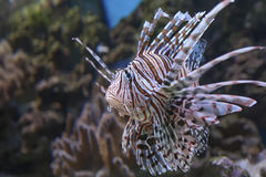 Red lionfish Pterois volitans Stock Image