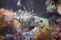 Red lionfish Pterois volitans. Stock Photos