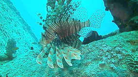 Red lionfish and Redmouth grouper stock video footage