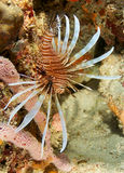Red Lionfish on a reef in Florida Stock Photos