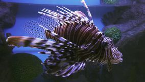 Red lionfish in the saltwater aquarium stock footage video stock video footage