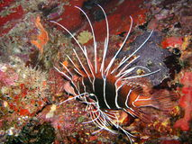Red Lionfish, Seychelles Royalty Free Stock Image