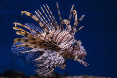 Red lionfish. Swimming in water Stock Image