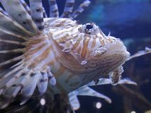 Red lionfish underwater, close-up. A red lionfish swims towards the camera, its spindly striped fins trailing behind Stock Photography