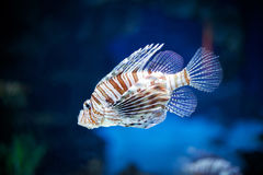 Red lionfish. Under blue water Stock Photo