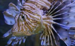 Red lionfish underwater, close-up. A red lionfish swims towards the camera, its spindly striped fins trailing behind Stock Images