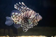 Red lionfish, on a uniform dark background Stock Image