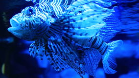 Red lionfish is a venomous, coral reef fish in. The family Scorpaenidae stock footage