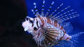 Red lionfish is a venomous, coral reef fish in. The family Scorpaenidae stock video footage