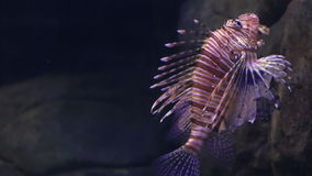 Red lionfish is a venomous, coral reef fish in. The family Scorpaenidae stock video